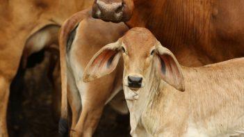 Cows livestock